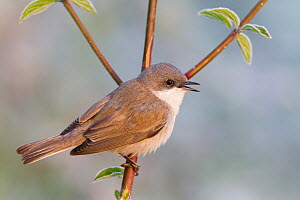 Lesser Whitethroat (Sylvia curruca) male, Baden-Wurttemberg, Germany  -  Ralph Martin