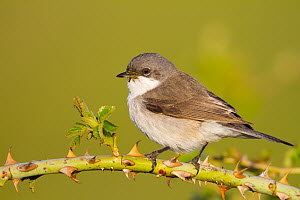 Lesser Whitethroat (Sylvia curruca), Baden-Wurttemberg, Germany  -  Ralph Martin