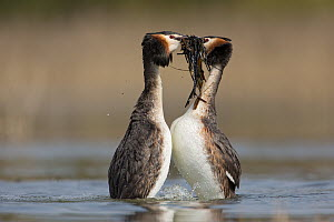 Great Crested Grebe (Podiceps cristatus) pair passing weeds in courtship display, Saxony, Germany  -  Oliver Richter