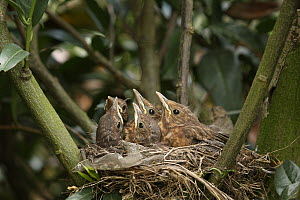 Eurasian Blackbird (Turdus merula) chicks in nest, Lower Saxony, Germany  -  Folkert Christoffers