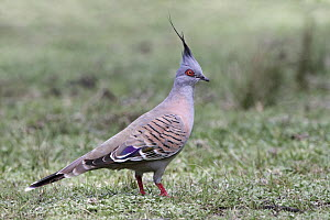 Crested Pigeon (Ocyphaps lophotes), New South Wales, Australia  -  Simon Bennett