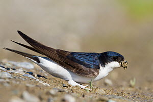 Common House Martin (Delichon urbicum) carrying insect prey, Baden-Wurttemberg, Germany  -  Ralph Martin