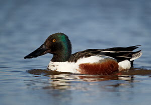 Northern Shoveler (Anas clypeata) male, Schleswig-Holstein, Germany - Chris Romeiks