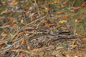 Red-necked Nightjar (Caprimulgus ruficollis) camouflaged against leaves, Seville, Spain  -  Andres M. Dominguez