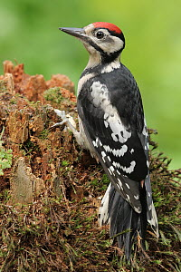 Great Spotted Woodpecker (Dendrocopos major) male, Lower Saxony, Germany  -  Folkert Christoffers