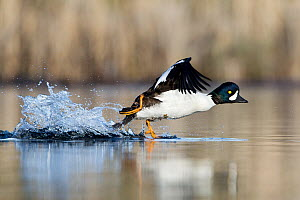 Barrow's Goldeneye (Bucephala islandica) taking flight, British Columbia, Canada - Connor Stefanison
