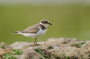 Little Ringed Plover (Charadrius dubius), Schleswig-Holstein, Germany  -  Peter Hering