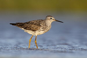 Lesser Yellowlegs (Tringa flavipes), Ohio  -  Matthew Studebaker