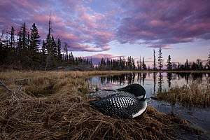 Common Loon (Gavia immer) on nest in bog, British Columbia, Canada  -  Connor Stefanison
