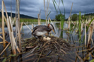 Red-necked Grebe (Podiceps grisegena) at nest in swamp, British Columbia, Canada  -  Connor Stefanison