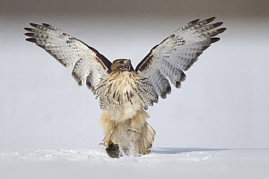 Red-tailed Hawk (Buteo jamaicensis) catching rodent prey in snow, Ohio  -  Matthew Studebaker