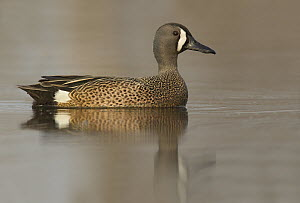 Blue-winged Teal (Anas discors) male, Ohio  -  Matthew Studebaker