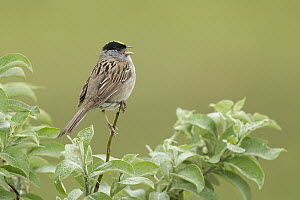 Golden-crowned Sparrow (Zonotrichia atricapilla) singing, Alaska  -  Matthew Studebaker