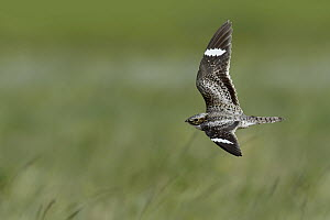 Common Nighthawk (Chordeiles minor), Montana  -  Matthew Studebaker