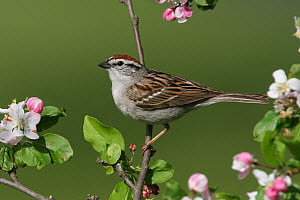 Chipping Sparrow (Spizella passerina), Ohio  -  Matthew Studebaker