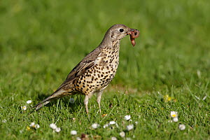 Mistle Thrush (Turdus viscivorus) carrying a worm, Wirral Peninsula, United Kingdom  -  Richard Steel