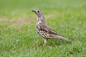 Mistle Thrush (Turdus viscivorus), Wirral Peninsula, United Kingdom  -  Richard Steel