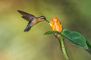 Purple-throated Mountain-gem (Lampornis calolaemus) female feeding on nectar at flower, Costa Rica  -  E.J. Peiker