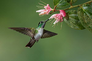 White-bellied Mountain Gem (Oreopyra hemileucus) feeding on nectar, Costa Rica  -  E.J. Peiker