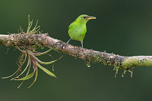 Green Honeycreeper (Chlorophanes spiza) female, Costa Rica  -  E.J. Peiker