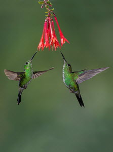 Green-crowned Brilliant (Heliodoxa jacula) pair visiting flowers, Costa Rica  -  E.J. Peiker