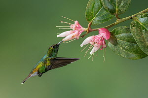 Coppery-headed Emerald (Elvira cupreiceps) feeding on nectar, Costa Rica  -  E.J. Peiker