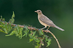 Clay-colored Thrush (Turdus grayi), Costa Rica  -  E.J. Peiker
