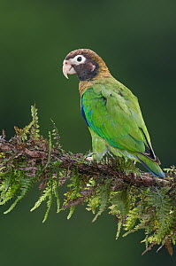 Brown-hooded Parrot (Pyrilia haematotis), Costa Rica  -  E.J. Peiker
