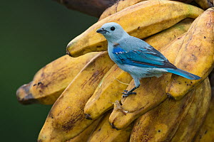 Blue-gray Tanager (Thraupis episcopus), Costa Rica  -  E.J. Peiker