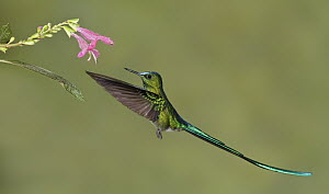 Long-tailed Sylph (Aglaiocercus kingi) male, Ecuador  -  Glenn Bartley