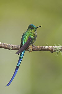Long-tailed Sylph (Aglaiocercus kingi), Ecuador  -  Glenn Bartley