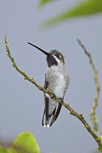 Long-billed Starthroat (Heliomaster longirostris) female, Ecuador  -  Glenn Bartley