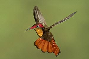 Ruby-topaz Hummingbird (Chrysolampis mosquitus) male hovering, Trinidad and Tobago  -  Glenn Bartley