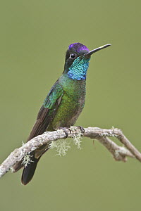 Magnificent Hummingbird (Eugenes fulgens) male, Costa Rica  -  Glenn Bartley