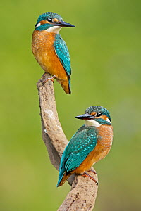 Common Kingfisher (Alcedo atthis) pair, Saxony-Anhalt, Germany  -  Thomas Hinsche