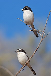 Common Fiscal (Lanius collaris) pair, Kgalagadi Transfrontier Park, Northern Cape, South Africa - Christine Jung