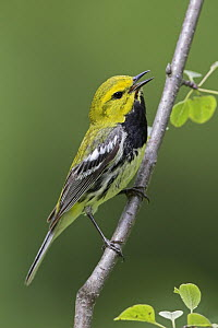 Black-throated Green Warbler (Setophaga virens) singing male, Ontario, Canada  -  Glenn Bartley