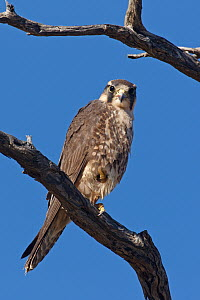 Lanner Falcon (Falco biarmicus), Kgalagadi Transfrontier Park, Northern Cape, South Africa  -  Christine Jung