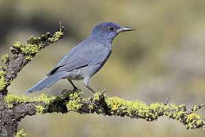 Pinyon Jay (Gymnorhinus cyanocephalus), Oregon  -  Glenn Bartley
