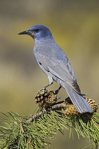 Pinyon Jay (Gymnorhinus cyanocephalus) perching on a Ponderosa Pine (Pinus ponderosa), Oregon  -  Glenn Bartley
