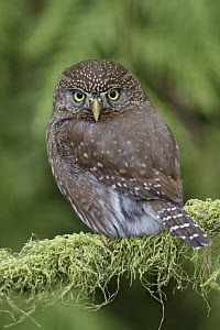 Mountain Pygmy-Owl (Glaucidium gnoma), British Columbia, Canada  -  Glenn Bartley