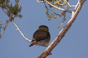Mountain Pygmy-Owl (Glaucidium gnoma), Fresno County, California  -  Bob Steele