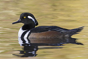 Hooded Merganser (Lophodytes cucullatus) male, British Columbia, Canada - Glenn Bartley