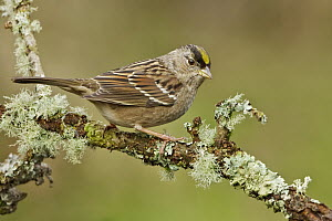 Golden-crowned Sparrow (Zonotrichia atricapilla), British Columbia, Canada  -  Glenn Bartley