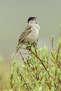 Golden-crowned Sparrow (Zonotrichia atricapilla) singing, Alaska  -  Alan Murphy