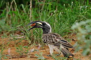 African Grey Hornbill (Tockus nasutus) carrying insect prey, Tsavo East National Park, Kenya  -  David Williams