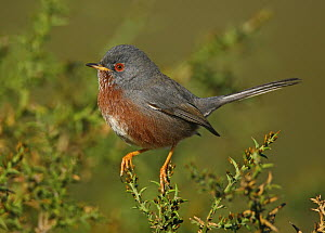 Dartford Warbler (Sylvia undata) male, Ferreira do Alentejo, Portugal  -  Pedro Marques