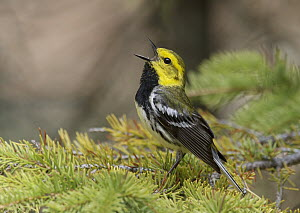 Black-throated Green Warbler (Setophaga virens) singing male, Michigan  -  Robert Royse