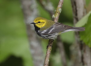 Black-throated Green Warbler (Setophaga virens) male, Minnesota  -  Robert Royse