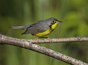 Canada Warbler (Cardellina canadensis) male, Maine  -  Robert Royse